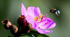 Lebah dan Bunga mawar Karya Kot Sukma Sari